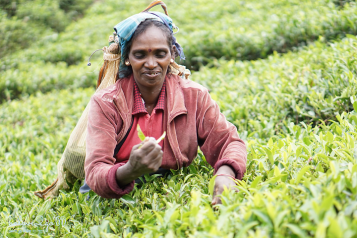 Tea picking in Nuwara