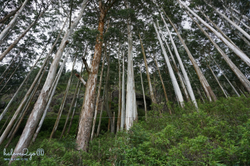 Nuwara-eliya-xanh-mat-doi-che-tree