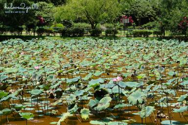 ipoh-thanh-pho-xinh-dep-it-duoc-biet-den-cua-malaysia-lotus-pond-4