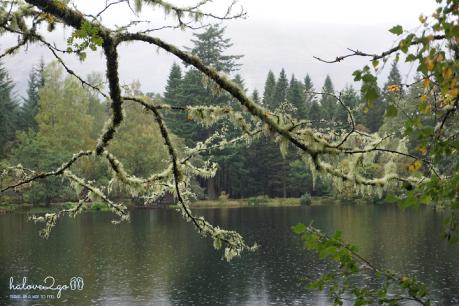 rong-ruoi-khap-scotland-huyen-thoai-glen-lochan-tree