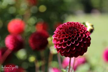 christchurch-thanh-pho-mau-xanh-botanical-garden-dahlia-1