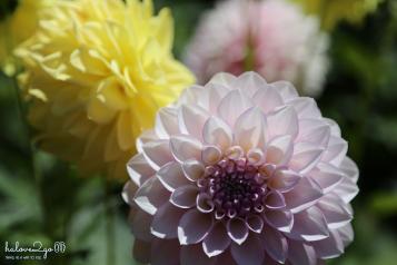 christchurch-thanh-pho-mau-xanh-botanical-garden-dahlia-2