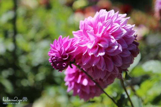 christchurch-thanh-pho-mau-xanh-botanical-garden-dahlia-3