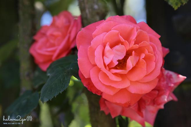 christchurch-thanh-pho-mau-xanh-rose-3