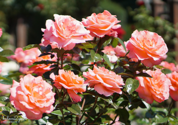 christchurch-thanh-pho-mau-xanh-rose-5