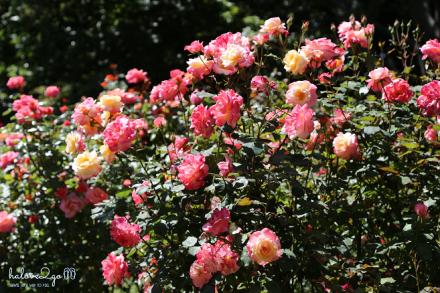 christchurch-thanh-pho-mau-xanh-rose