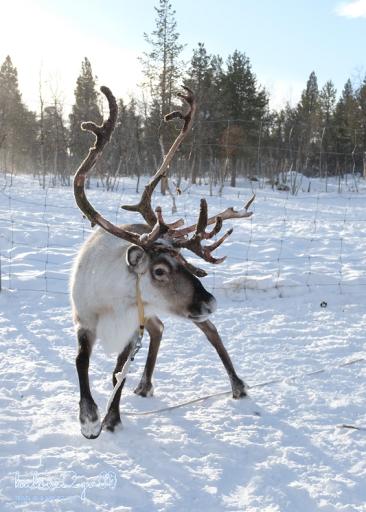 kiruna-abisko-tieu-khien-cung-tuyet-trang-reindeer-12