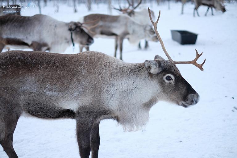 kiruna-abisko-tieu-khien-cung-tuyet-trang-reindeer-13
