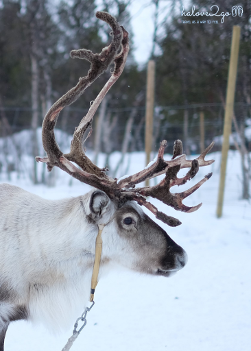 kiruna-abisko-tieu-khien-cung-tuyet-trang-reindeer-15