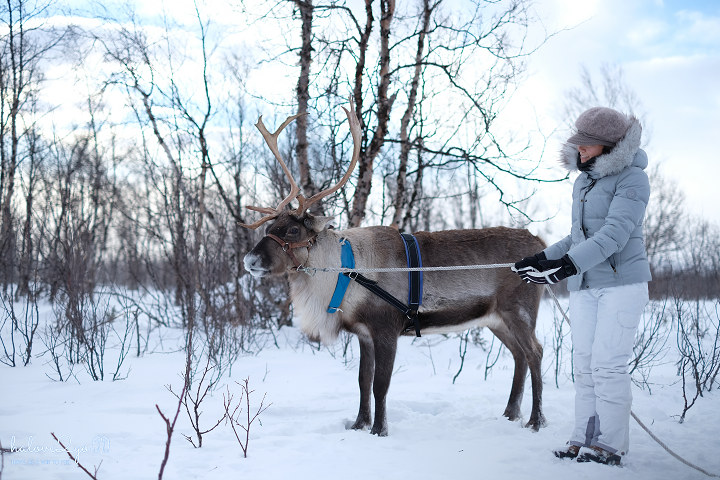 kiruna-abisko-tieu-khien-cung-tuyet-trang-reindeer-2