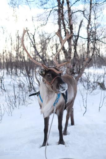 kiruna-abisko-tieu-khien-cung-tuyet-trang-reindeer-3