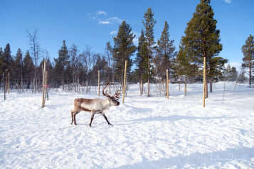 kiruna-abisko-tieu-khien-cung-tuyet-trang-reindeer-5