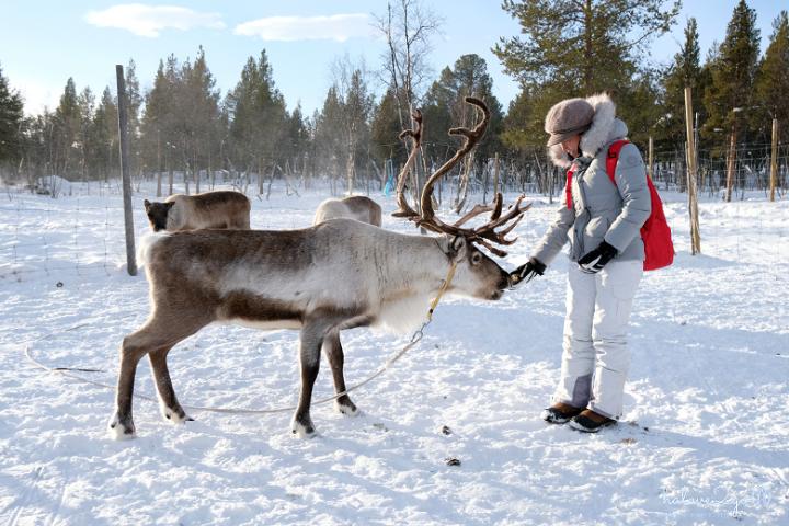 kiruna-abisko-tieu-khien-cung-tuyet-trang-reindeer-7