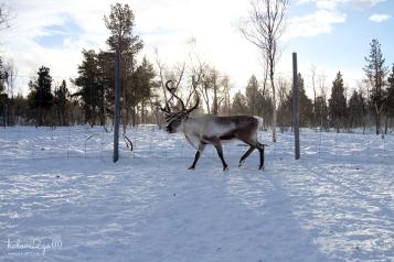 kiruna-abisko-tieu-khien-cung-tuyet-trang-reindeer-8