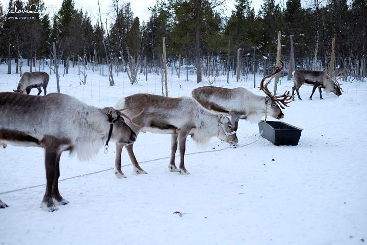 kiruna-abisko-tieu-khien-cung-tuyet-trang-reindeer-9