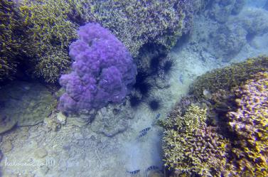 lan-bien-o-hon-mun-nha-trang-purple-coral